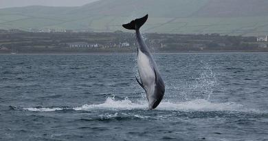 A Dolphin in Dingle cc image courtesy of duloup/wikimedia/cc