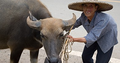 Yao woman and Buffalo, Ping An China