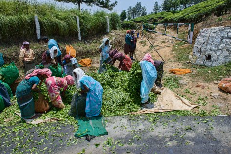 Tea workers in Kerala, India