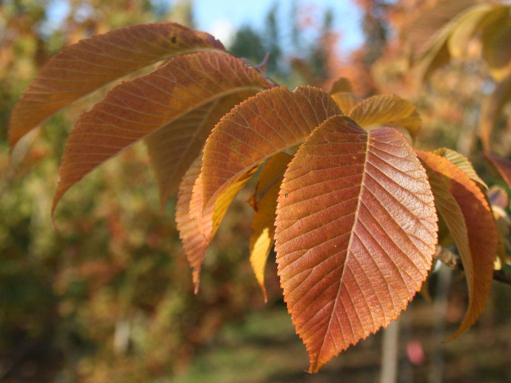 Dazzling Twelve Ornamental Pear Trees Will Be Replaced One Hundred Emerald Sunshine Elms Pocket Road Ornamental Pear Tree Replacement Project Valley Ornamental Pear Tree Types Ornamental Pear Tree Fir houzz-03 Ornamental Pear Tree
