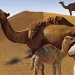 Health benefits of Camel milk