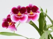 Amor-perfeito-flores