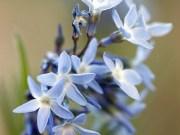 Flor da semana - Blue Star