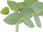 eucalipto-destaque