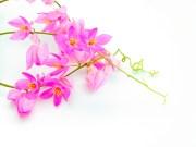 mimo do ceu flor