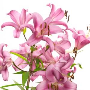 lírio flor da semana vamos receber