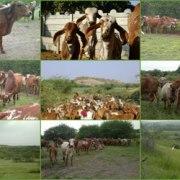 Gir-Cow-Grassing-Jasdan