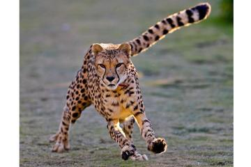 0612-Cheetahs.jpg_full_600