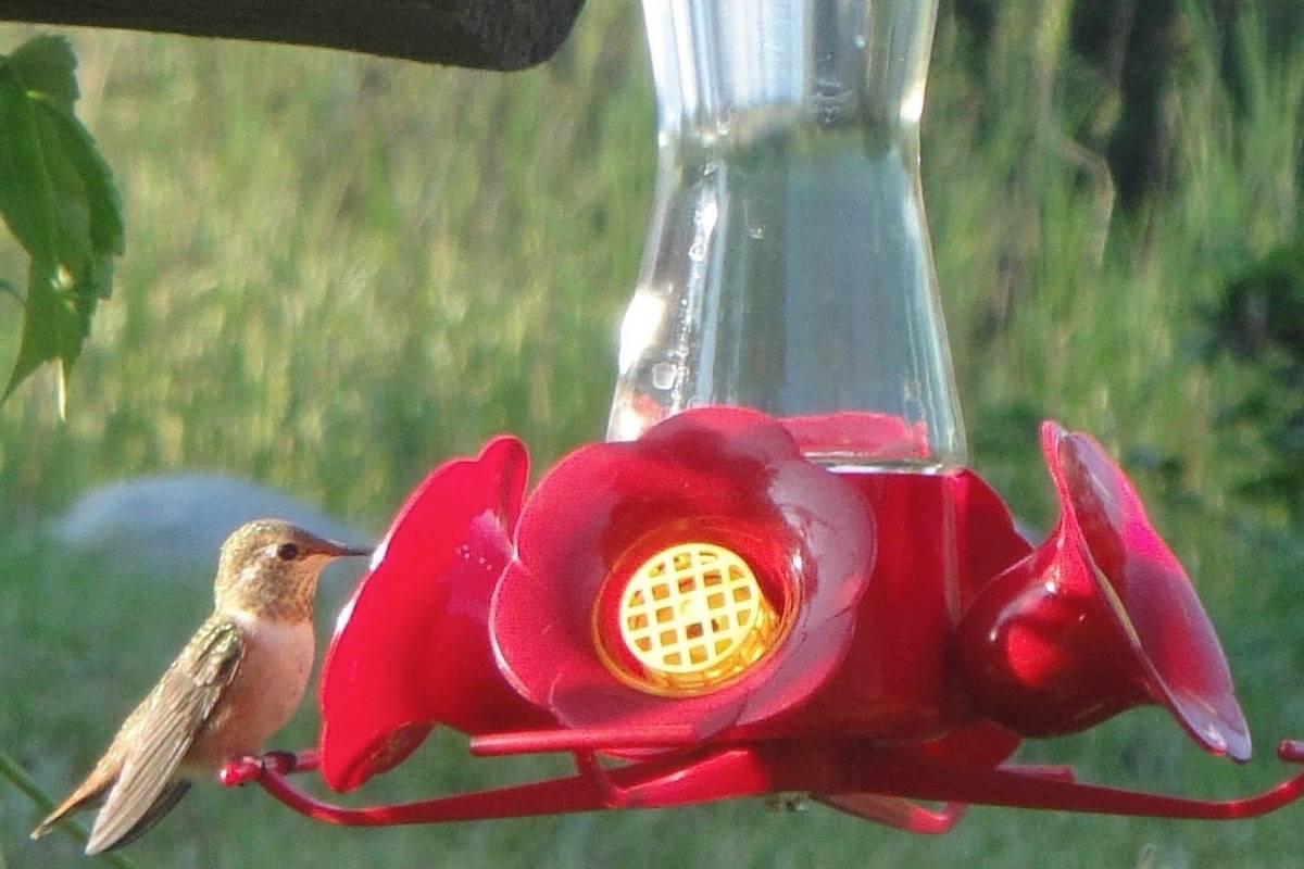 Fullsize Of When To Stop Feeding Hummingbirds