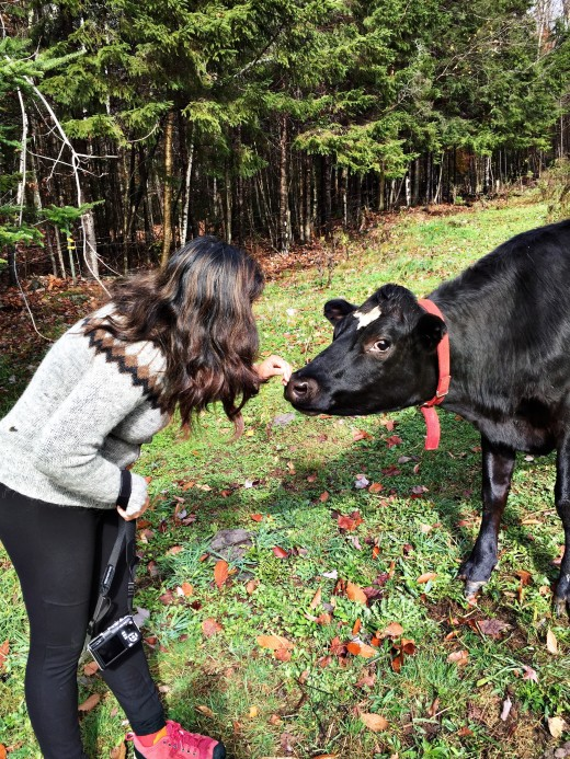 Hazel the Cow coming in for a kiss on her Vermont farm