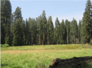sequoia_meadow