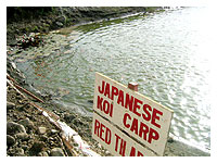 fish pond with kois