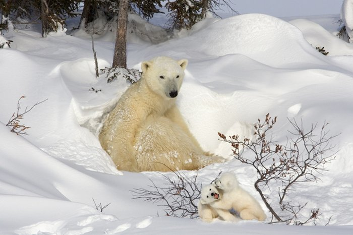صور حيوانات روعة 2016 ، صور حيوانات مميزة 2016 ، حيوانات جديدة روعة ours-polaires.jpg