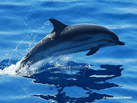 Dolphin off the Barcelona coast. / Photo: spain.info