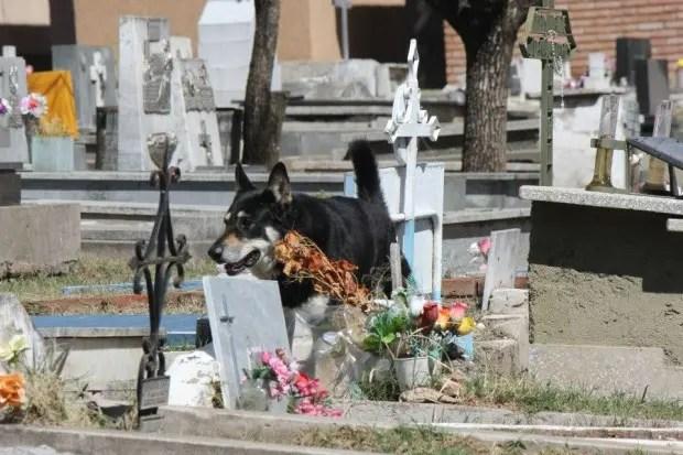 capitan el perro que cuida la tumba de su amo (1)