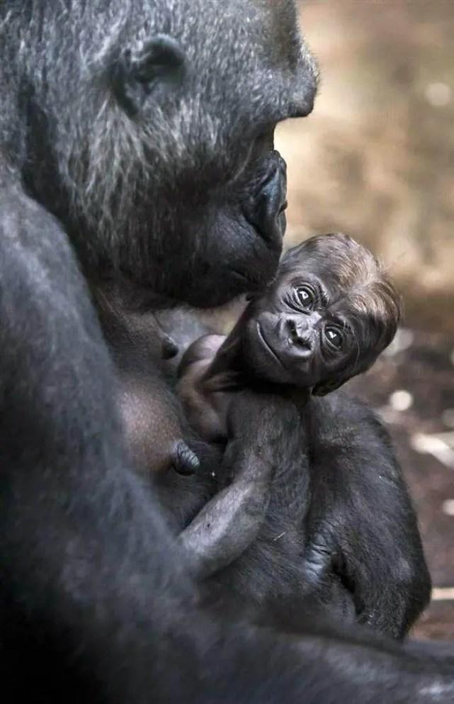 bebe-gorila3