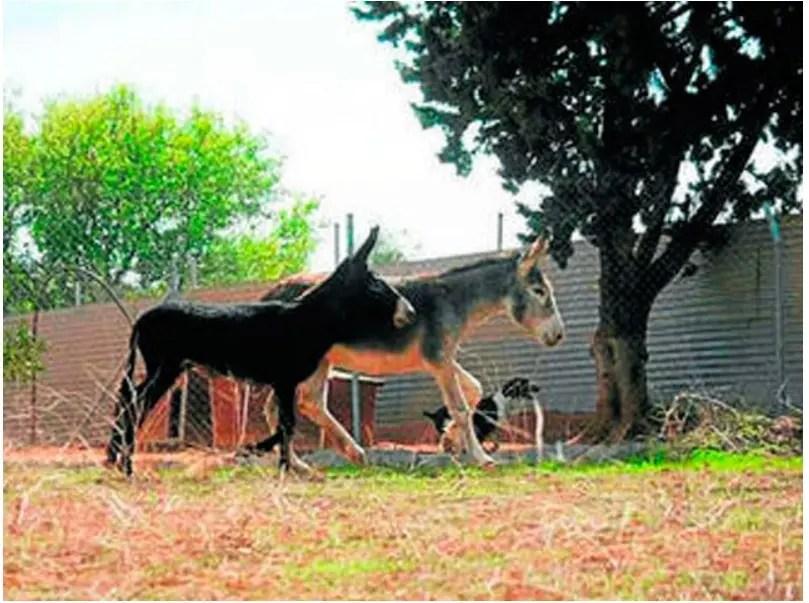 burro capitan 11