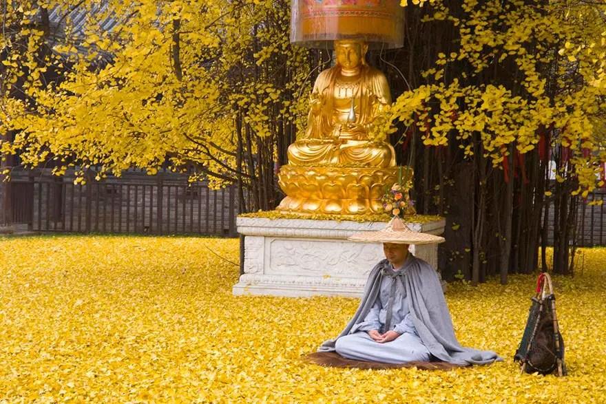 arbol-antiguo-amarillo-china3