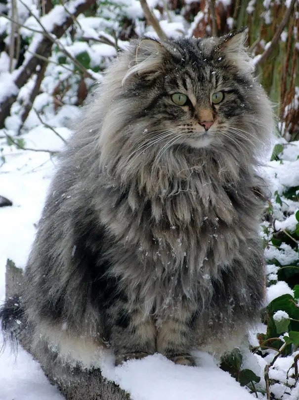 gato coon 3
