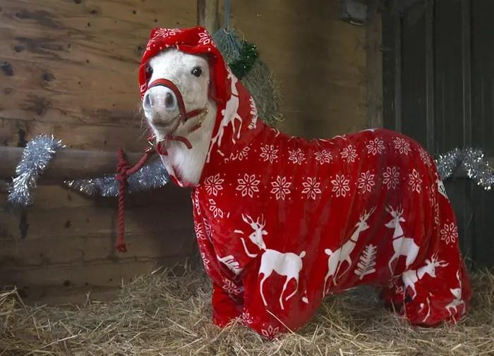 hacen-abrigo-para-su-pony3