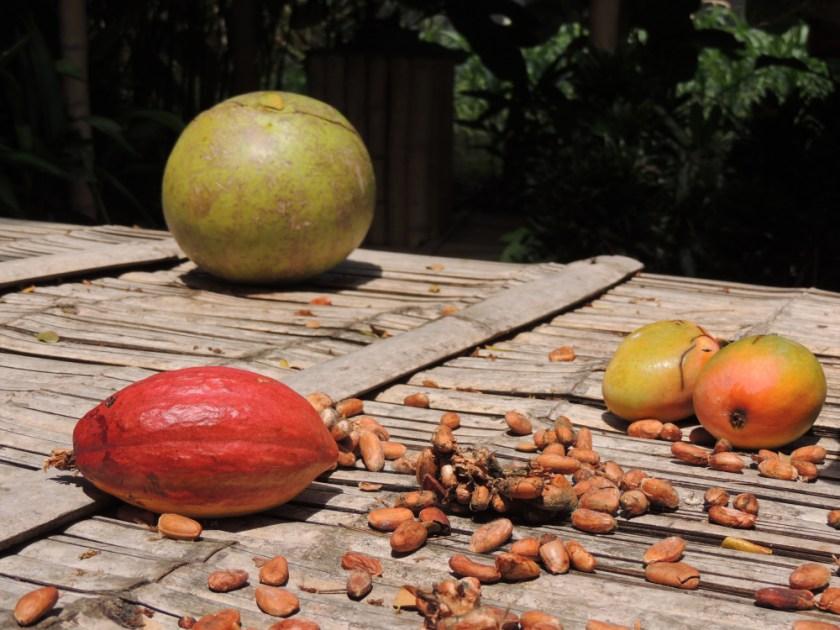 Cacao plantations in the Coastal region of Ecuador