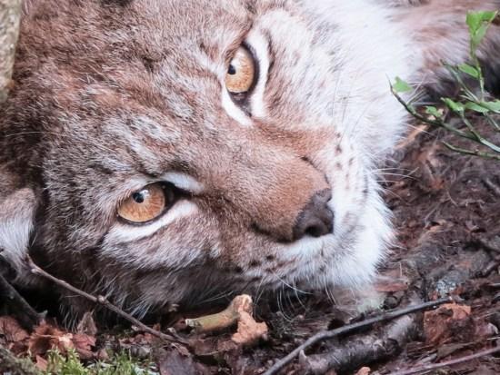 Ingrid, Eurasian lynx