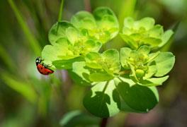 ladybug-264x180