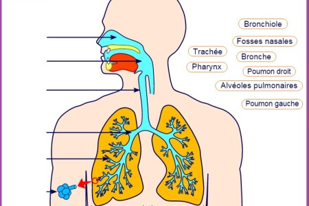 appareil respiratoire humain svt animation viasvt