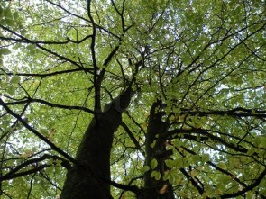 3589750-beech-trees-from-ground-to-top-against-sky-with-green-leaves