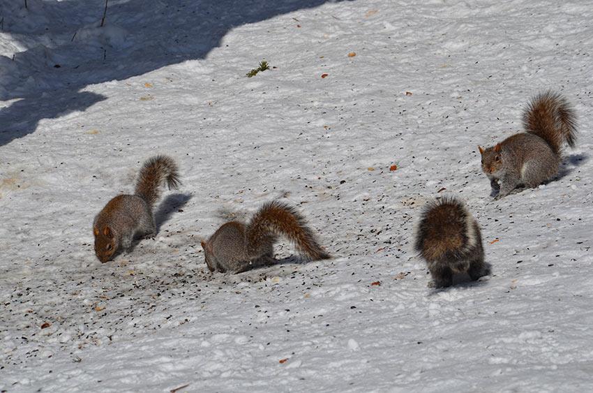 ecureuil montreal