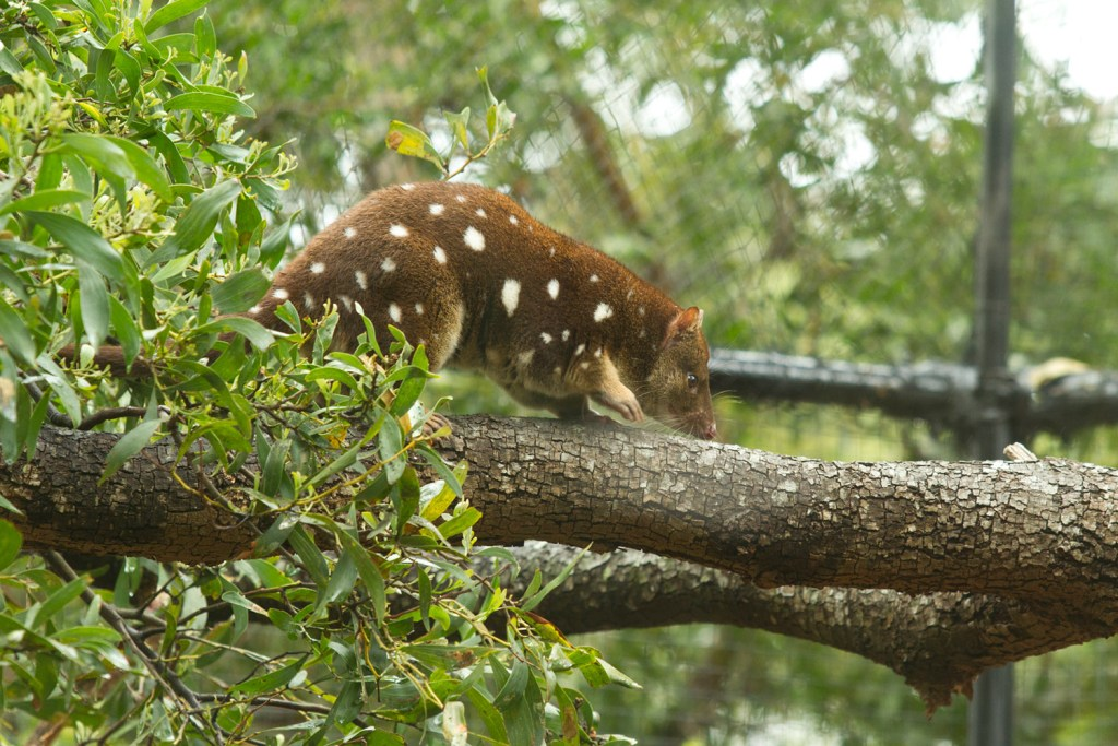 bichenot-natureworld-quoll