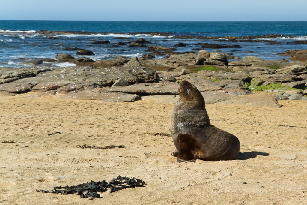 Waipapa Lighthouse - Fur Seal