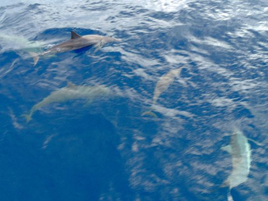 Dolphins at the bow of the boat