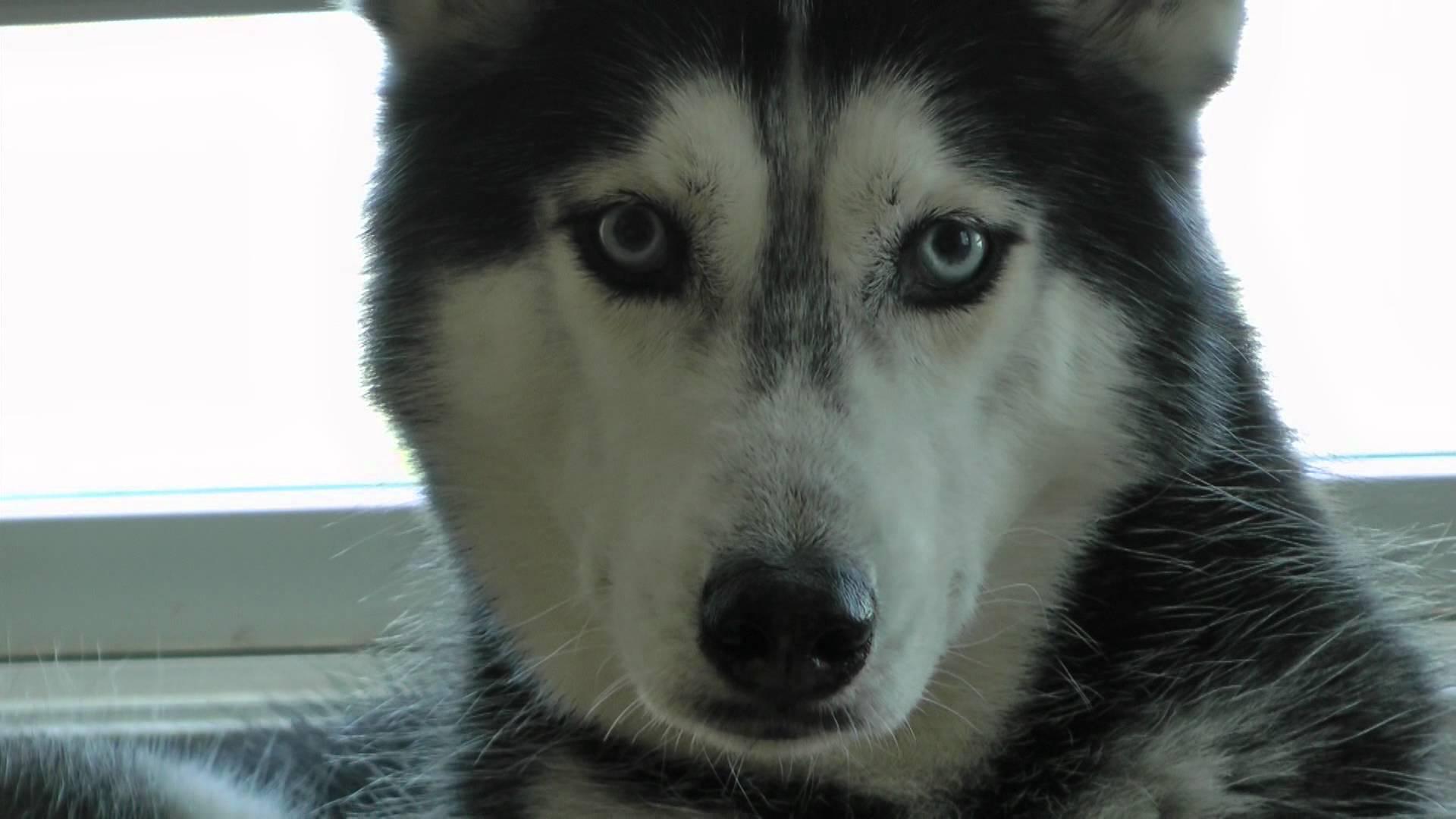 Special Reasons Huskies Are Not Friendly Dogs Everyone Says Y Are S German Shepherds Huskies Huskies Snow S bark post Pictures Of Huskies