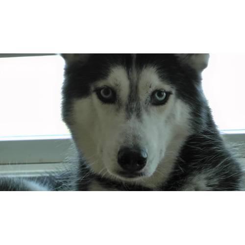 Medium Crop Of Pictures Of Huskies