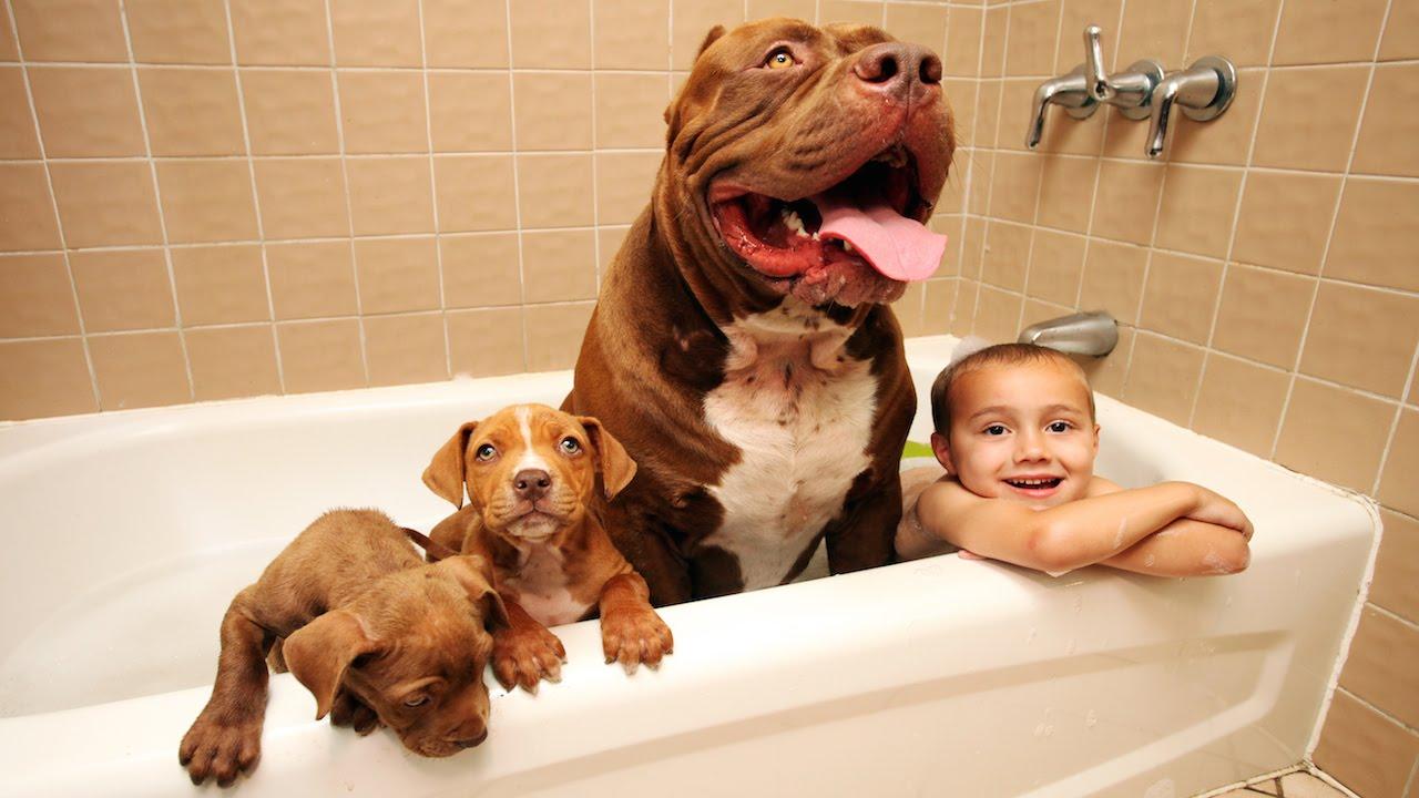 Enchanting Largest Pitbull Has Puppies Worth Up To Half A Milliondollars Largest Pitbull Has Puppies Worth Up To Half A Dynasty K9 Kennels Dynasty K9s Location bark post Dark Dynasty K9