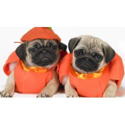 Small Crop Of Pugs In Costumes