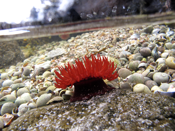 Anemone under water photograph in rock pool, walking Skye, Scotland