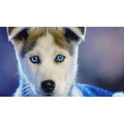 Small Crop Of Blue Eyed Dogs