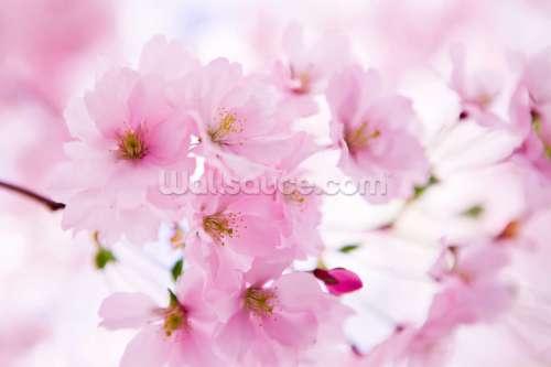 Medium Of Cherry Blossom Wallpaper