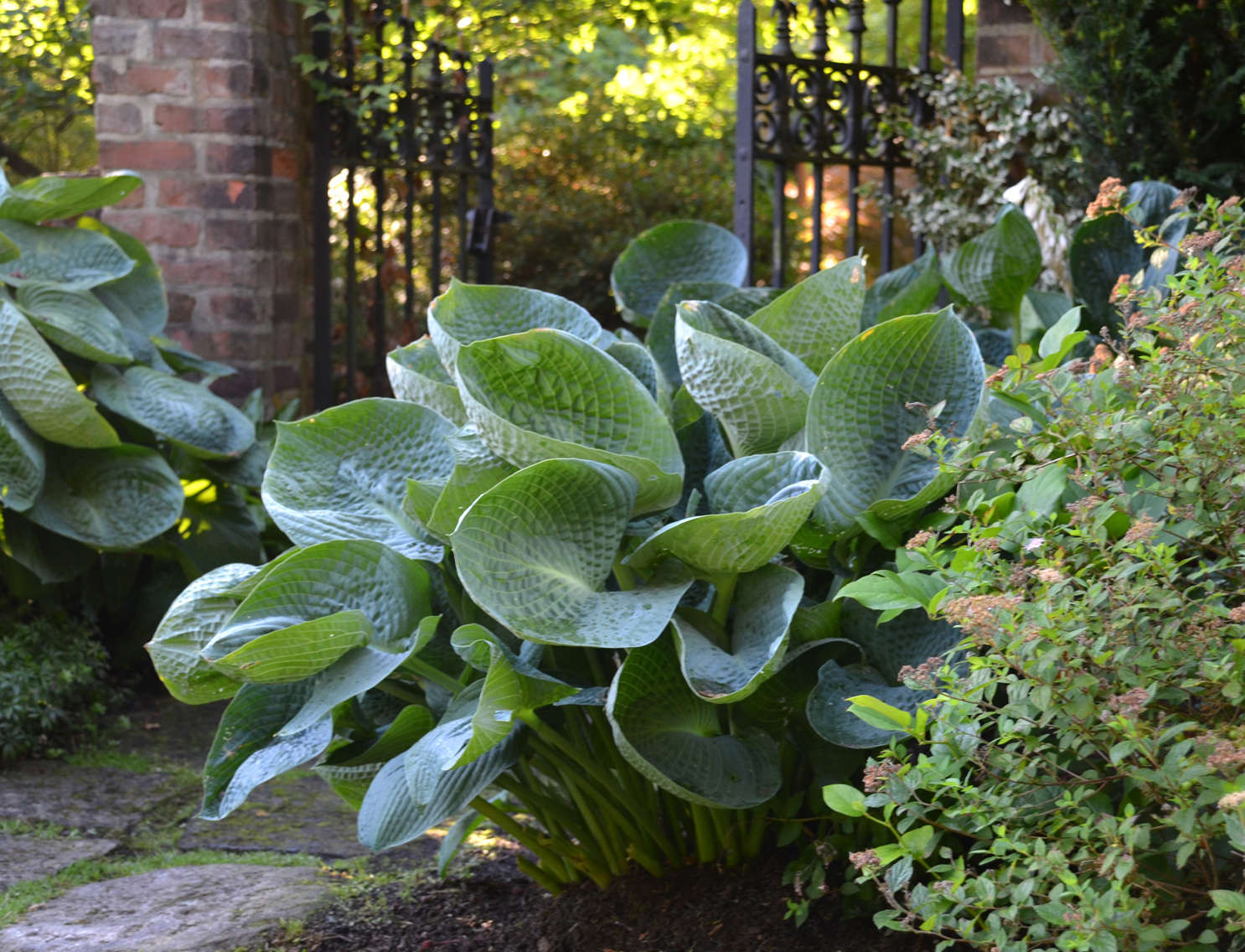 Comfy Year Drinking 2014 Hosta Or Blue Hostasretain Ir Coloration Better When Grown Under Shaderequirements All Hostas Are Not Created Equally Walters houzz-03 Hostas For Sun
