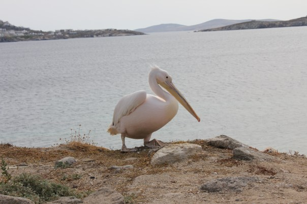 Pelican on the Greek island of Mykonos