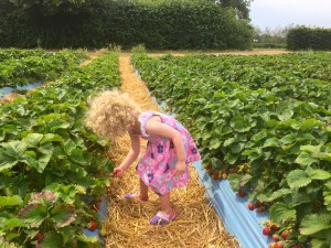 Picking strawberries at Crockford Bridge Farm, Pick Your Own, Weybridge