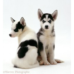 Small Crop Of Cute Husky Puppies
