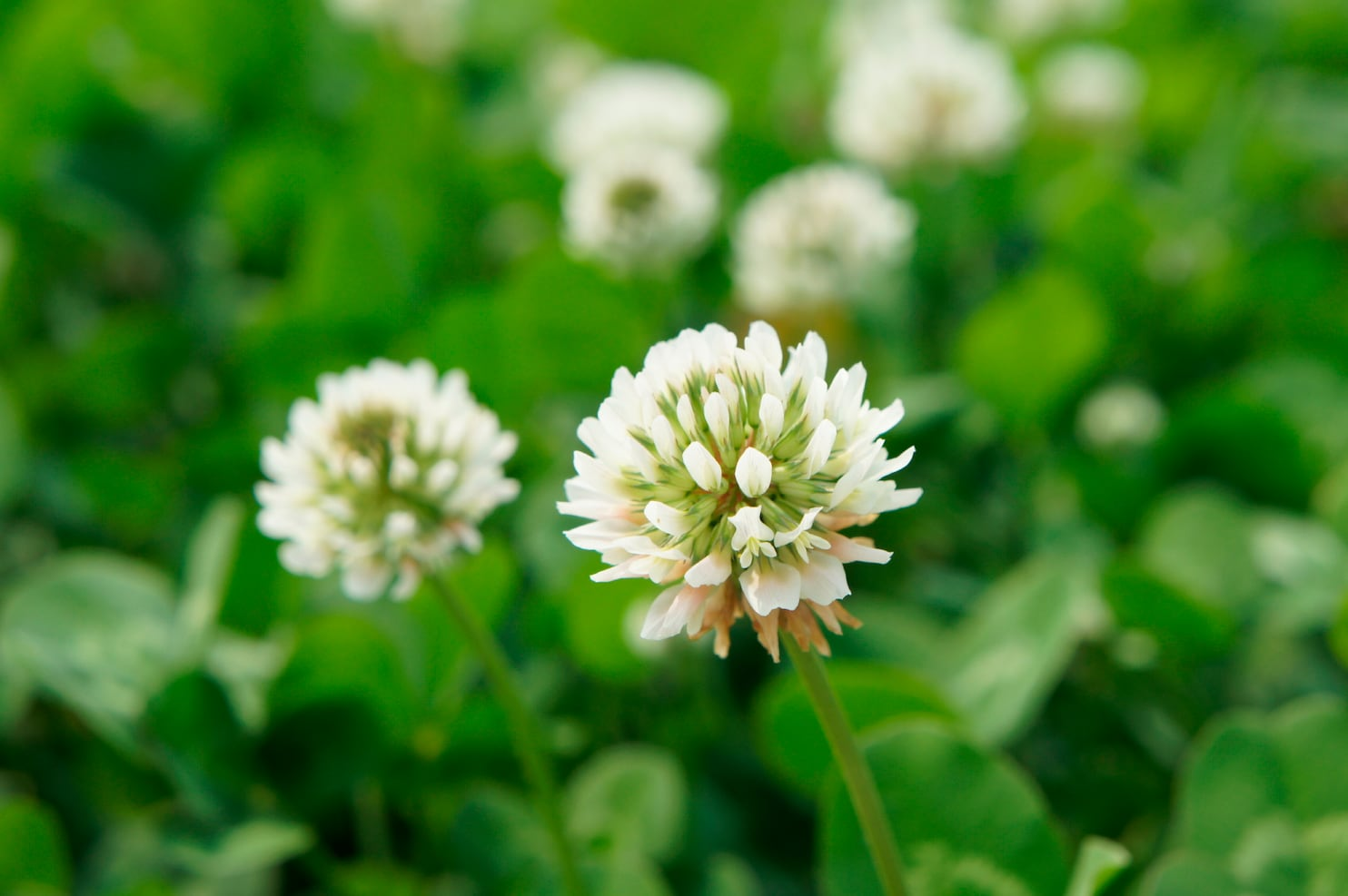 Captivating Weeds That Can Ruin Your Lawn Washington Post How To Get Rid Clover Flowers Clover Mites Outside How To Get Rid houzz-03 How To Get Rid Of Clover