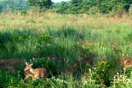 Herd of Chital (spotted deer).