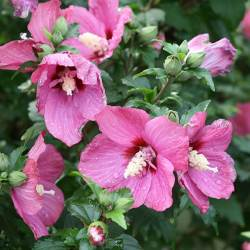 Trendy Sale Hibiscus Lil Red Rose Sharon Hedge Sharon Hedge Rose Sharon Hibiscus Lil Red At Wayside Gardens Rose