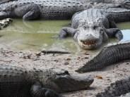 Everglades Alligator Farm alligators