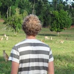 Kangoeroes kijken australie