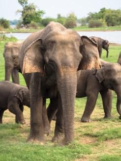 Minneriya-National-Park-the-gathering-wilde-olifanten